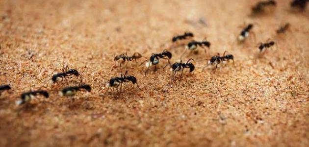 حكم قتل النمل