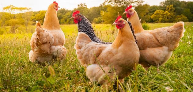 علاج مرض نيوكاسل الدجاج