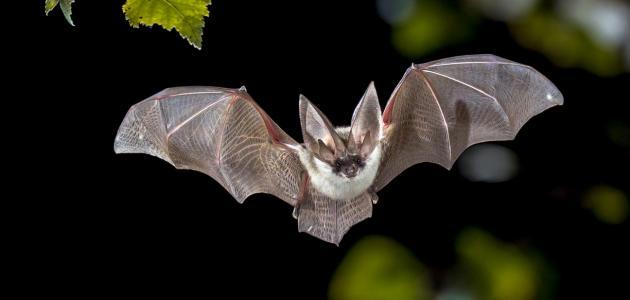 معلومات عن السبات الشتوي للخفافيش