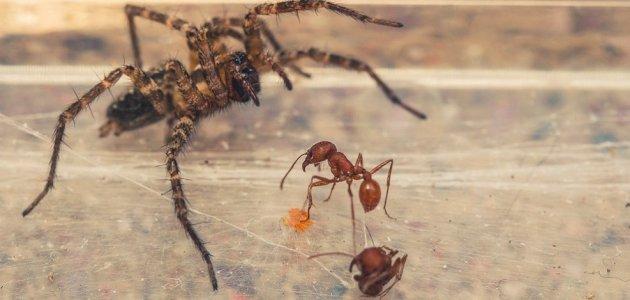 أعراض قرصة النمل والعنكبوت