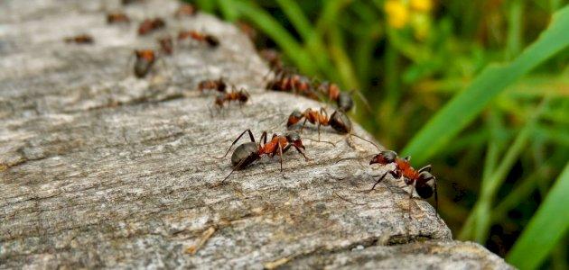 ما هي دلالة وجود النمل في البيت سطور