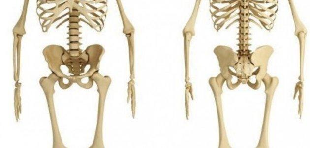 الهيكل العظمي الطرفي موقعه أجزاؤه وظائفه أمراضه سطور