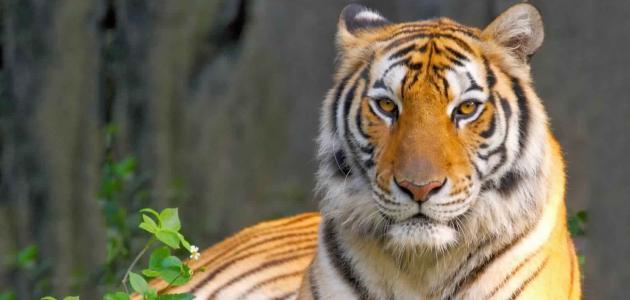 النمور السيفية: خصائصها، تكاثرها، أماكن عيشها، تغذيتها وأعمارها