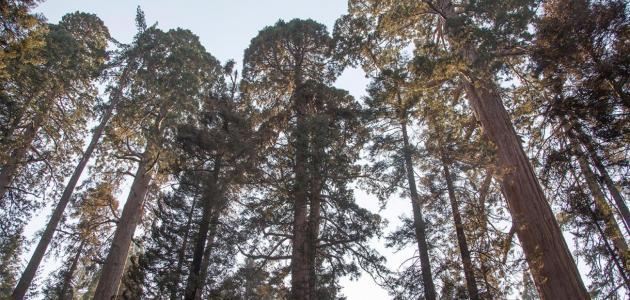 شجرة السيكويا العملاقة: هل حقًّا لا يمكن أن تموت؟