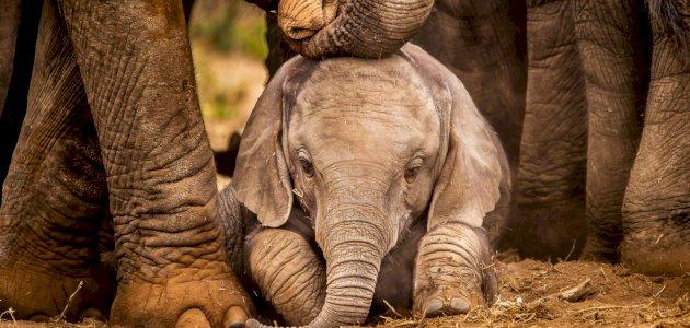 معلومات عن حمل الفيلة