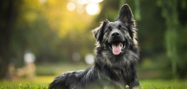 معلومات عن حمل الكلاب