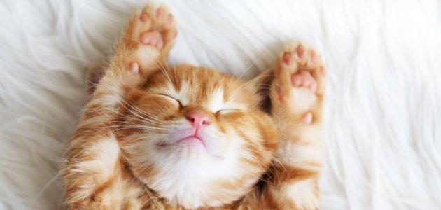 معلومات عن حمل القطط