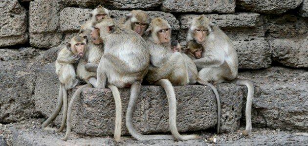 تفسير حلم القرود الكثيرة في المنام